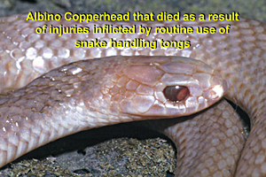 Copperhead killed through the illegal use of snake tongs