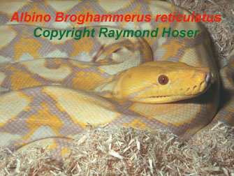 Reticulated Python Broghammerus reticulatus, formerly known as Python reticulatus, Albino, World's longest snake, world's longest living snake. Photo by Raymond Hoser, Copyright, Unauthorised use prohibited