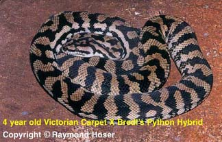 Hybrid Victorian Carpet X Bredl's Python - 4 years old